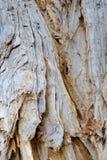 剥吠声,纸吠声玉树,澳大利亚 免版税库存图片