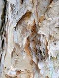 剥吠声,纸吠声玉树,澳大利亚 库存图片