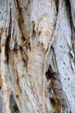 剥吠声,纸吠声玉树,澳大利亚 免版税库存照片