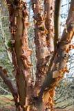 剥在喜马拉雅桦树的吠声 免版税库存照片