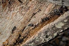 剥年迈的树桩的吠声 免版税库存图片