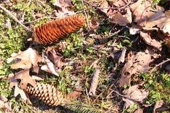 剥皮杉木锥体和落叶被放置的显示  免版税图库摄影