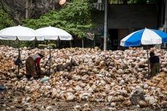 剥从农场的泰国本地工人许多椰子海岛酸值Phangan堆的有矛头刀子的坚果 免版税库存照片