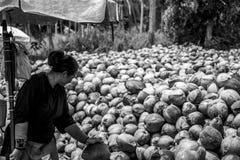 剥从农场的泰国本地工人许多椰子海岛酸值Phangan堆的有矛头刀子的坚果 库存图片