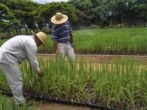 剧情的研究员与甘蔗领域 免版税库存照片