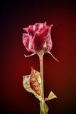 剧烈一朵红色玫瑰 库存照片