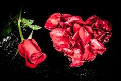 剧烈一朵红色玫瑰 图库摄影