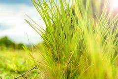 剧烈和特写镜头射击了一棵草有模糊的天空背景 库存图片