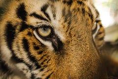 剧烈孟加拉老虎眼睛看 免版税库存照片