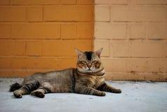 剧烈的猫 免版税库存照片
