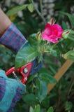 剪切玫瑰 库存照片