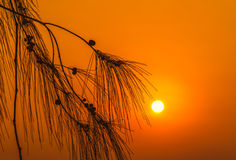 剪影在日落的叶子杉木 免版税库存图片