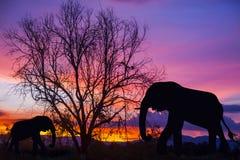 剪影大象和树在美好的日落 库存照片