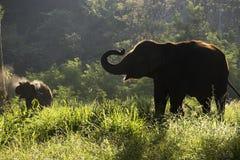 剪影大象走 库存照片