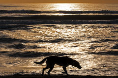 剪影孤独的狗走的日出海 免版税库存照片