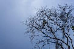 剪影干燥树没有叶子 库存照片