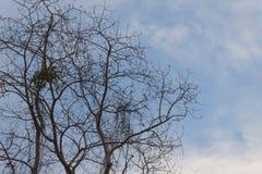 剪影干燥树没有叶子 免版税库存图片