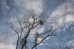 剪影干燥树没有叶子 图库摄影