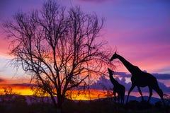 剪影长颈鹿和树在美好的日落 免版税库存照片