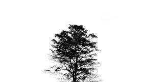 剪影黑树美好的分支白色背景 免版税库存照片