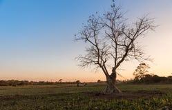 剪影轻的树 免版税库存照片