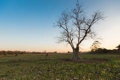 剪影轻的树 免版税图库摄影