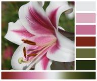 剪报花查出的百合路径白色 有赞美颜色的调色板 免版税库存图片