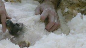 剪的绵羊 股票视频