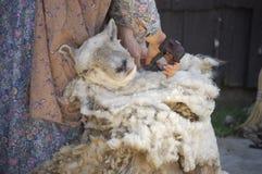 剪的绵羊v 免版税库存照片