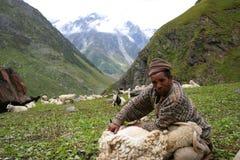 剪羊毛在Kinnaur 免版税图库摄影