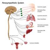 副交感神经的系统 向量例证