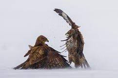 力量的示范在掠食性鸟之间的 免版税库存图片