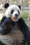 功夫熊猫 库存图片