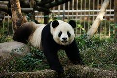 功夫熊猫 免版税库存照片