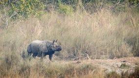 更加伟大的一有角的犀牛在Bardia,尼泊尔 免版税图库摄影