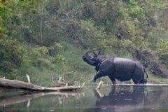 更加伟大的一有角的犀牛在Bardia,尼泊尔 库存照片
