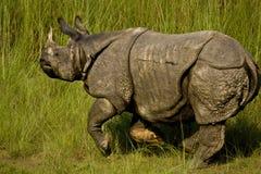 更加伟大的一头有角的犀牛在Bardia,尼泊尔 库存图片
