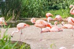 更加伟大的火鸟,尼斯桃红色大鸟,动物群在自然栖所 图库摄影
