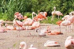 更加伟大的火鸟,尼斯桃红色大鸟,动物群在自然栖所 免版税库存照片