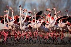更加伟大的火鸟, Phoenicopterus ruber,尼斯桃红色大鸟群,跳舞在水中,动物在自然栖所, Camargue 库存图片