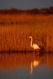 更加伟大的火鸟, Phoenicopterus ruber,美丽的桃红色大鸟在深蓝水中,与晚上太阳,芦苇在背景中, anim 库存照片