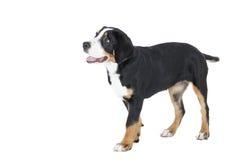 更加伟大的瑞士山狗 免版税图库摄影
