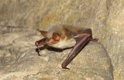 更加伟大的老鼠有耳的棒(Myotis myotis) 库存照片