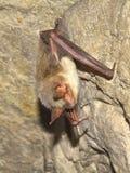 更加伟大的老鼠有耳的棒(Myotis myotis) 库存图片