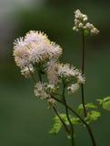 更加伟大的草甸云香,唐松草属植物aquilegiifolium 免版税库存照片