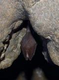 更加伟大的马蹄型蝙蝠(Rhinolophus ferrumequinum) 免版税库存照片