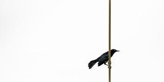 更加伟大的ANTILLEAN GRACKLE黑色鸟在特立尼达和多巴哥 库存图片