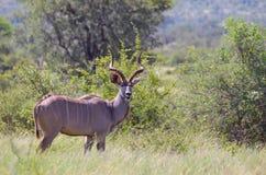 更加伟大的kudu公牛(非洲羚羊类弯角羚类)在克留格尔国家公园 库存照片