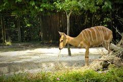 更加伟大的Kudu在新加坡动物园里 库存图片