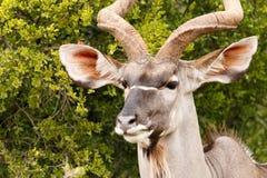 更加伟大的Kudu的特写 图库摄影